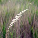 07. Calamagrostis canadensis BLUE JOINT GRASS