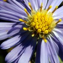 Aster laevis SMOOTH BLUE ASTER