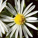 Aster pilosus HAIRY ASTER