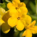 Lithospermum canescens HOARY PUCCOON